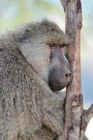 babbuino oliva nel parco nazionale di masai mara del kenya foto