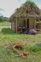 toro cubano foto