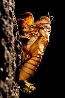 la crescita naturale della cicala in muta. foto