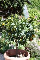 albero di kumquat con frutta e foglie in giardino foto