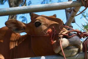 come le mucche hanno inseminato lo sviluppo delle razze bovine locali foto