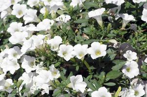 primo piano fiori di petunie bianche foto