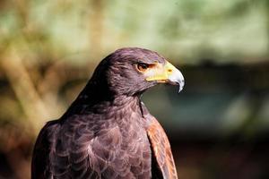 adler: uccello rapace foto