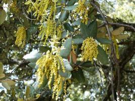 amenti pollinici maschili sulle querce vive della costa