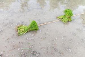giovane piantina di riso preparazione da piantare in file ordinate foto