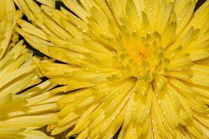 macro di crisantemo giallo foto