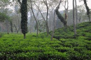 piantagione di tee in bangladesh foto
