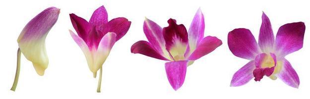 fasi di crescita del fiore dell'orchidea foto