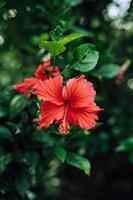 ibisco rosso in fiore foto