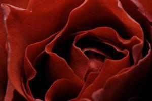 petali di rosa rossa