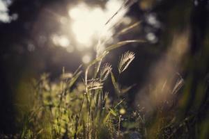 erba selvatica alla luce del sole foto