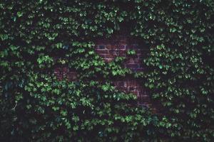 edera che cresce su un muro di mattoni