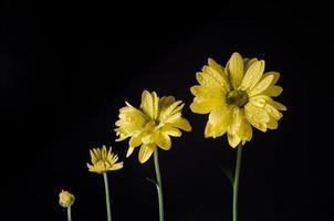 fiori vita, crescendo isolati su fondo nero con gocce d'acqua.
