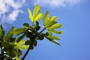 albero di fico con frutti sotto il cielo blu foto