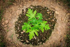 giovane albero di papaia. foto
