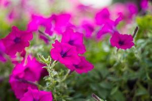 fiore di petunia rosa con sfocatura dello sfondo foto