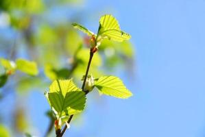 albero di primavera