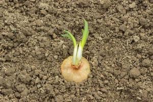 germogliare la cipolla sullo sfondo del suolo foto