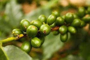 piante di caffè a maturare. foto