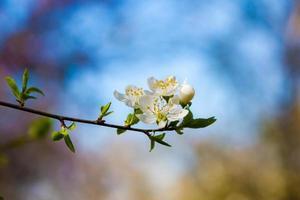 ciliegio di primavera foto