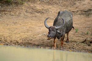 Bufalo d'acqua