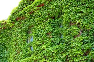 due finestre verdi ricoperte di edera, facciata, Keene, New Hampshire.