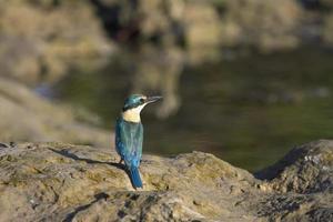 martin pescatore di fronte al lago