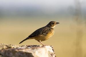 flappet lark (mirafra rufocinnamomea), il parco nazionale queen elizabeth, uganda foto