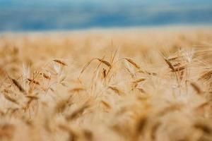 messa a fuoco selettiva del campo di grano foto
