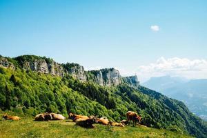 bovini sul campo in erba vicino alla montagna sotto il cielo blu