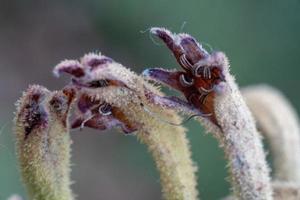 bocciolo di fiore stagionato foto