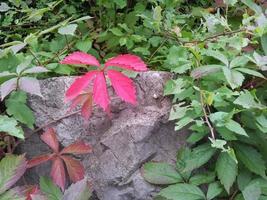 fünfblättriger wilder wein - caprifoglio rosso foto