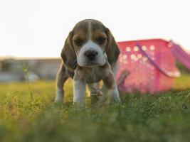 cucciolo di beagle sul campo di erba verde