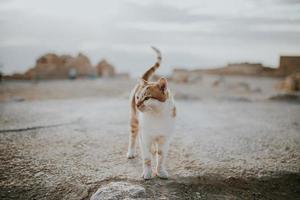 gatto soriano arancione e bianco