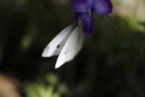 farfalla bianca sul fiore foto