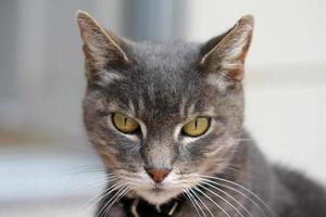 gatto grigio con gli occhi gialli foto