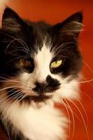 gatto bianco e nero foto