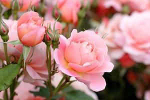 cespuglio di rose rosa
