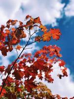albero di acero colorato