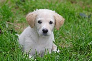 cane da pastore maremmano foto