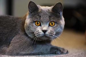 gatto di razza british shorthair blu foto