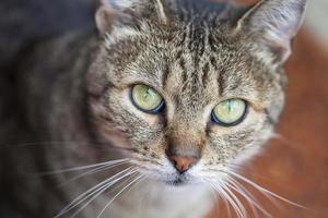 gatto comune europeo con occhi verdi e pelliccia grigia.