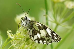 farfalla in habitat naturale
