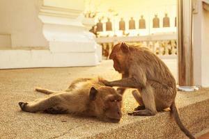 scimmia macaco, hua hin, thailandia