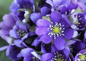 bouquet di hepatica