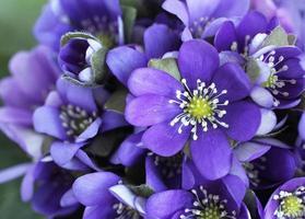 bouquet di hepatica foto