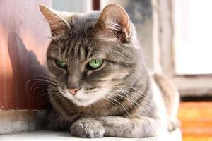 sguardo intelligente gatto dagli occhi verdi