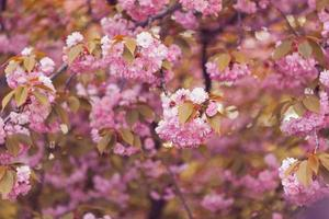 bellissimo fiore rosa fiori di ciliegio in piena fioritura. sakura foto