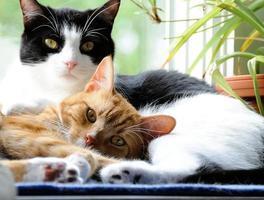 due simpatici gatti domestici a pelo corto che si accoccolano foto