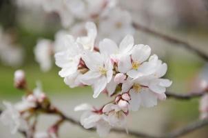 sakura, fiore di ciliegio primaverile foto